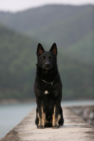 black german shepard staying