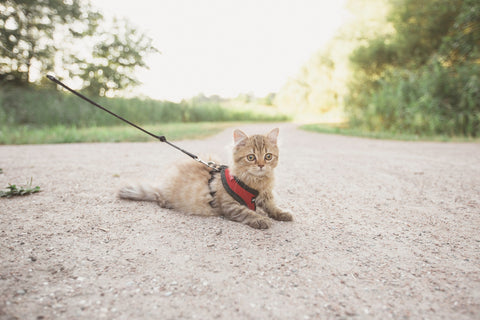 Cat laying down outside on leash