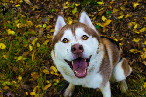 brown husky smiling in grass