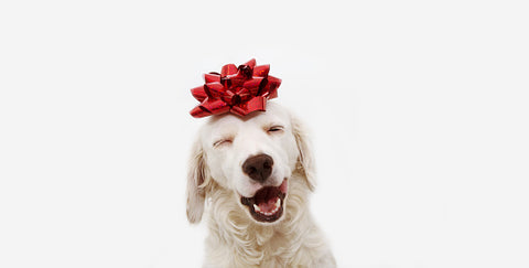smiling labrador with bow on it's head