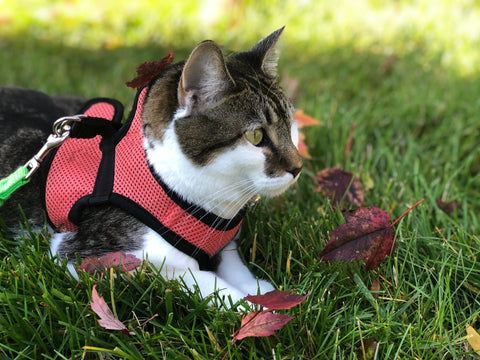 Cat with a harness and leash