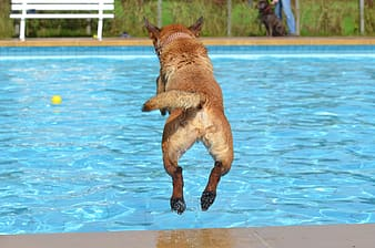 brown dog jumping into pool