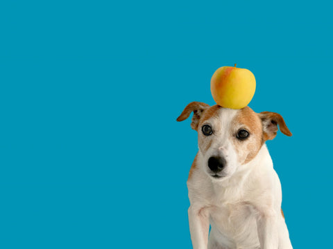 dog with an apple on it's head