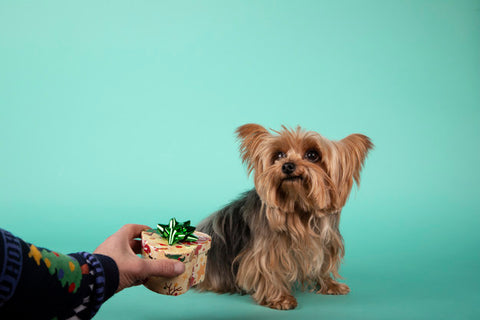 person giving a gift to a yorkshire terrier dog