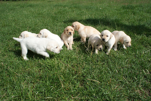 yellow lab puppies playing in a field