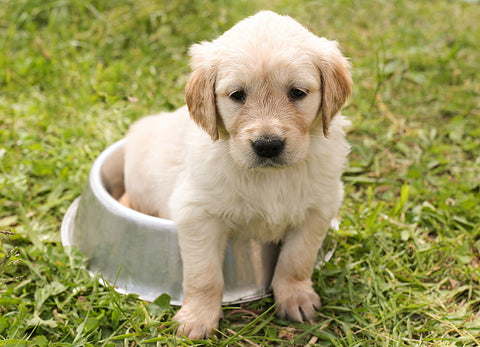 puppy golden retriever inside bowl