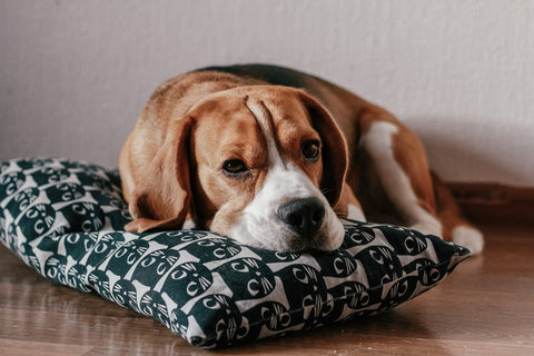 Dog laying on pillow