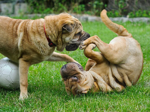 Chinese Shar-Pei puppies playing