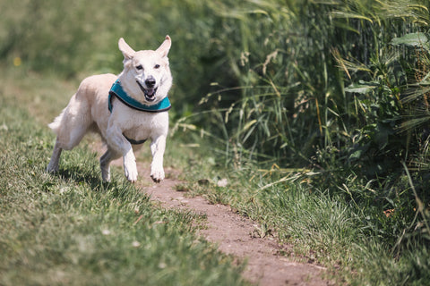 white dog running outside