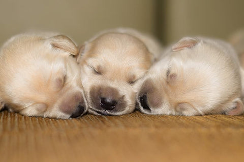 new born puppies at a dog breeder