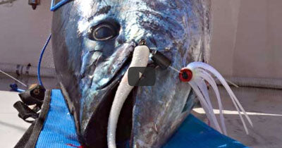 Video: Trolling for Bluefin with Bluemax Ballyhoo