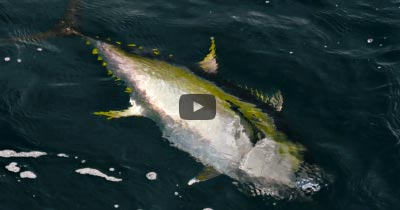 Video: Casting to Scattered Tuna