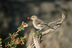 bird eating berry