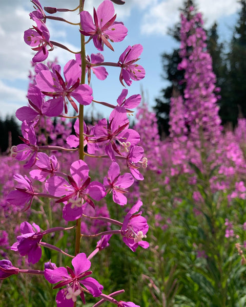 fireweed in bloom up close