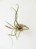 Cube air plant design holder with flowering Tillandsia Caput-Medusa on the wall