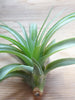 Tillandsia Brachycaulos tropical air plant