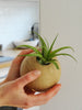 Tillandsia Brachycaulos tropical air plant inside hanging sphere pot