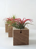 3 cubic air plant design holders with Tillandsia Ioantha Rubras on a table