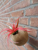 Tillandsia Brachycaulos blooming tropical air plant inside hanging sphere pot