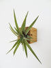 Cube air plant design holder with Tillandsia Brachycaulos horizontal wall orientation