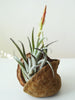 Tropical Nut with air plant