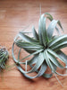 Tillandsia Xerographica tropical air plant