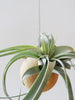 Tillandsia Xerographica tropical air plant in the Etairnity oak sphere