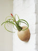 Picture of hemisphere wooden holder with Caput Medusa airplant