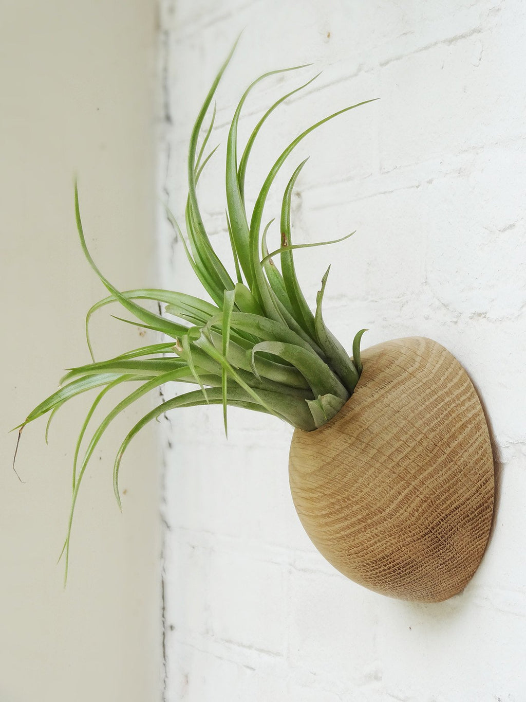 Picture of hemisphere wooden holder with Brachycaulos airplant. Side view