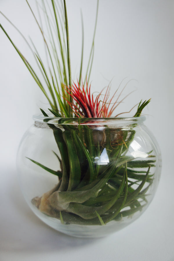 Glass Vase with Airplants