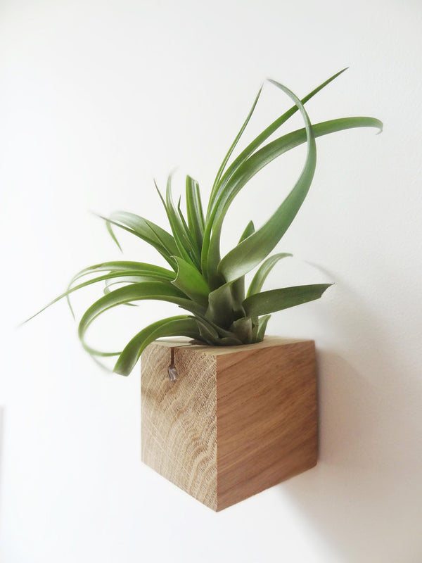 Cube air plant design holder with Tillandsia Brachycaulos vertical wall orientation
