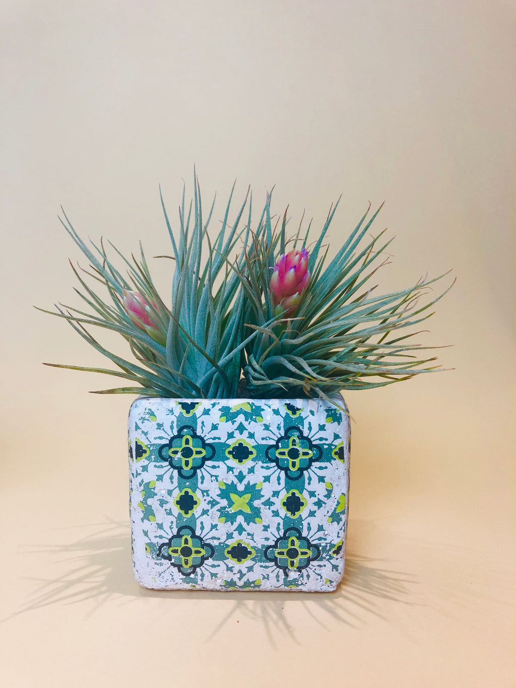 Tillandsia Silver in Ceramic Pot