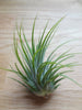 Tillandsia Ioantha Green tropical air plant