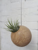 Tillandsia Ioantha Green tropical air plant in hanging sphere