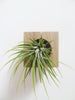 Cube air plant design holder with colorful Tillandsia Ioantha Rubra on the wall