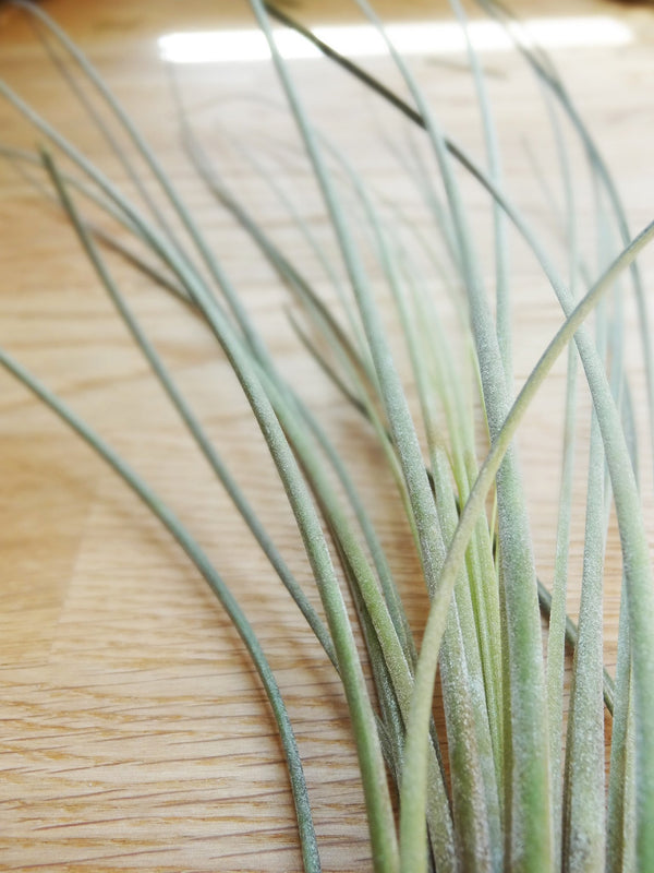 Tillandsia Juncea tropical air plant