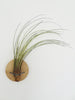 Disc air plant design holder with Tillandsia Juncea on the wall