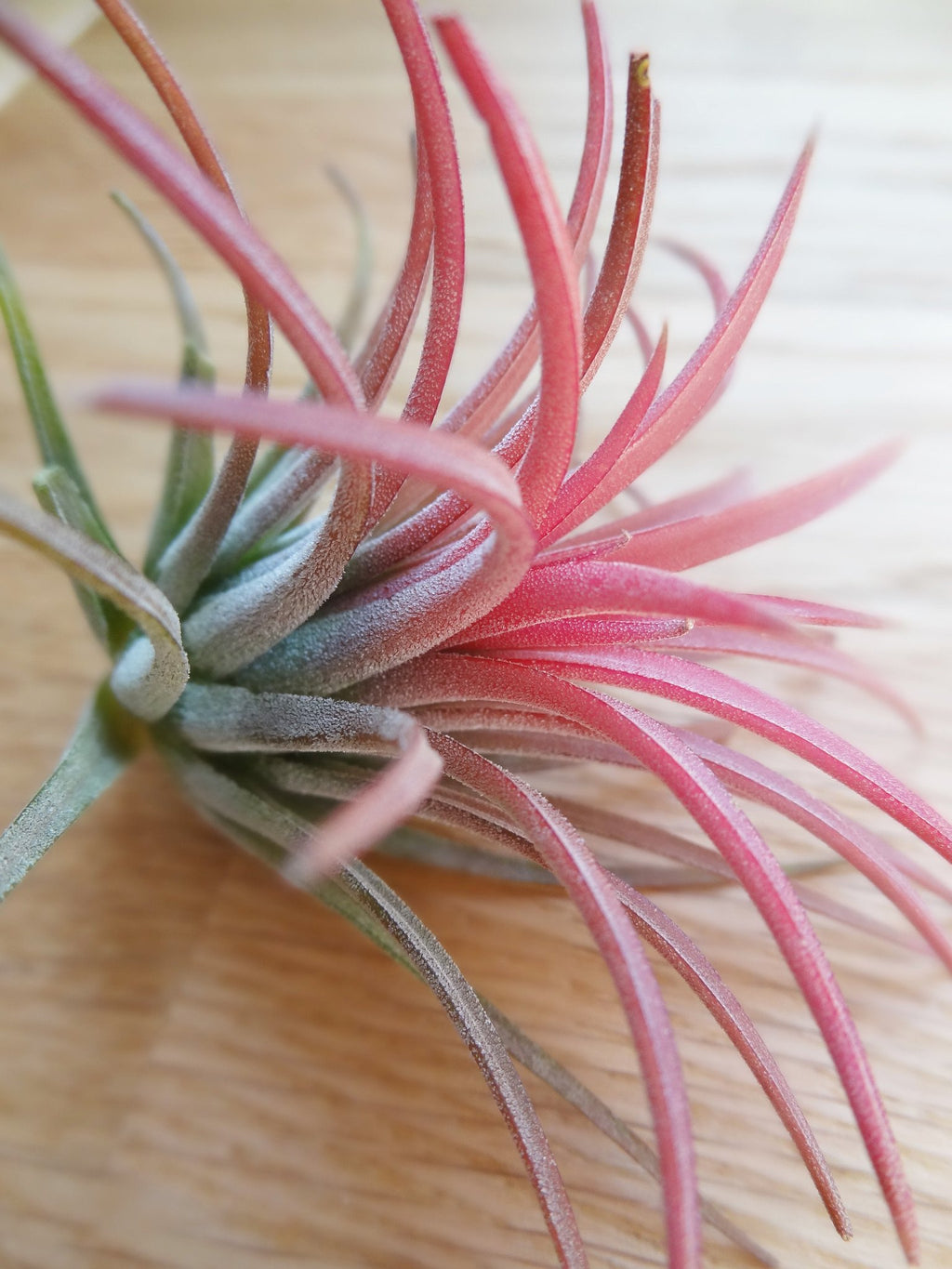 Tillandsia Ioantha Rubra tropical air plant