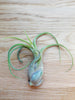 Tillandsia Caput-Medusa tropical air plant