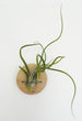 Disc air plant design holder with Tillandsia Caput-Medusa on the wall