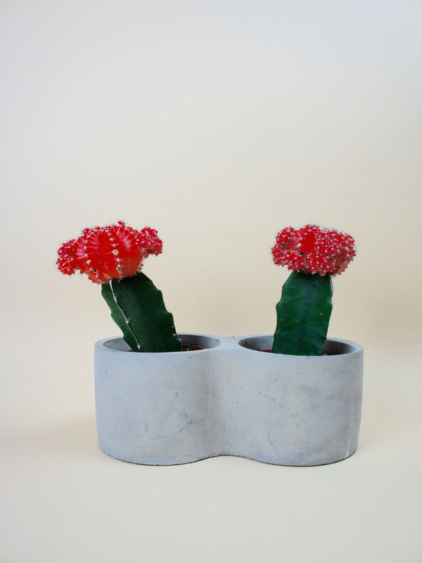 Concrete Pot & Colorfull Cactuses