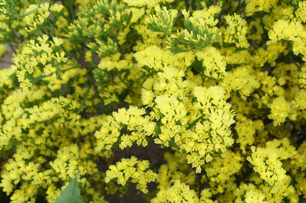 Statice yellow floralsection statice yellow bloomsyshop mightylinksfo