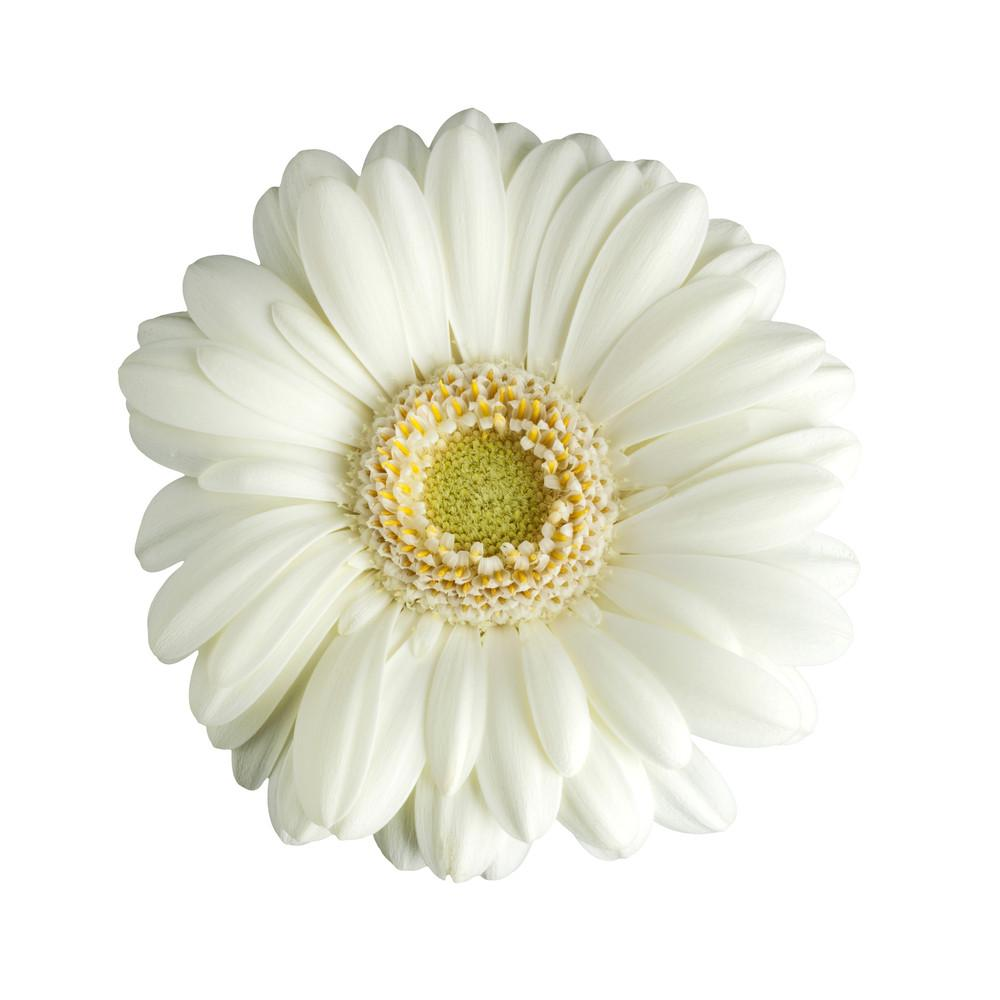 White gerbera daisy floralsection white gerbera daisy bloomsyshop mightylinksfo