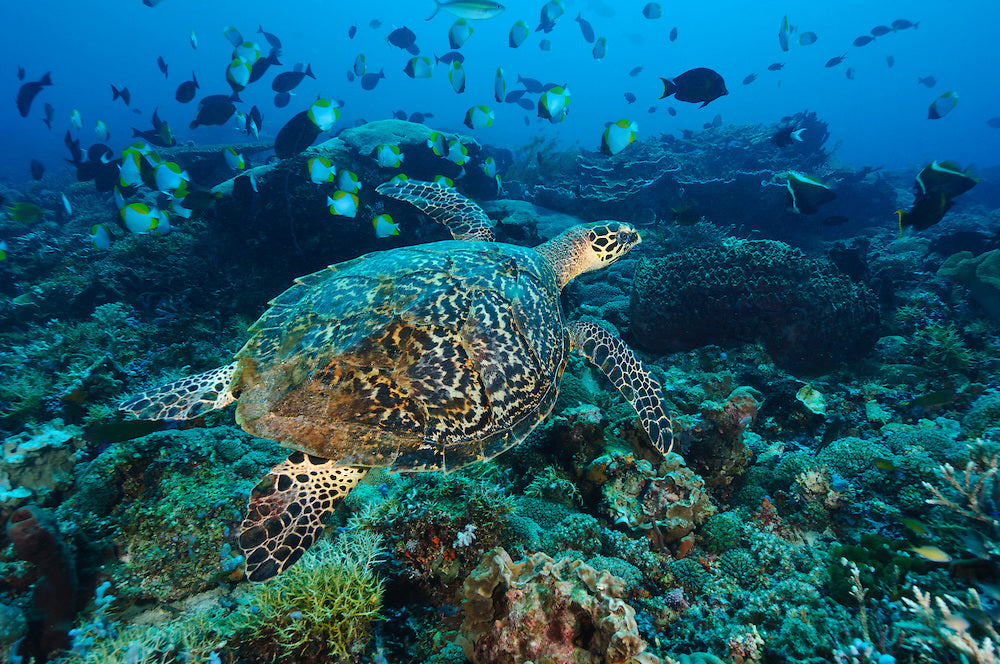 This Species of Sea Turtle Is Almost All Female, Signally a Major Problem