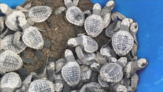 Texas Tech Students Helping Sea Turtles