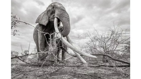 British Photographer Captures Images Of Kenya's Rare 'Big Tusked Queen'