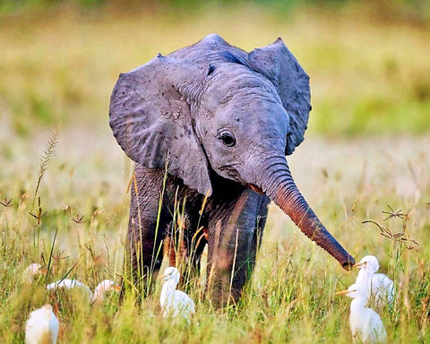 cute baby elephant no tusks poaching