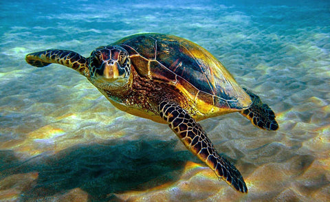 hawksbill sea turtle endangered