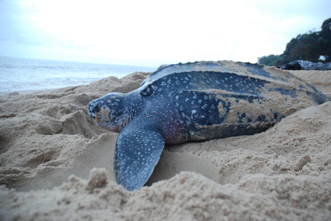 leatherback sea turtle endangered