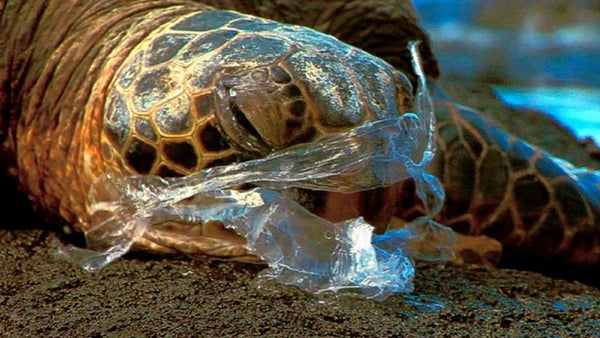 injured sea turtle swallowing plastic